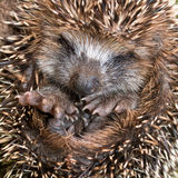 Hedgehog Baby close up stock images