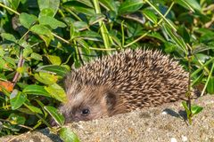 Hedgehog baby with his family royalty free stock photo