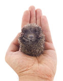 Hedgehog baby on palm Stock Photography