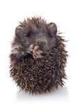 Hedgehog baby Stock Images