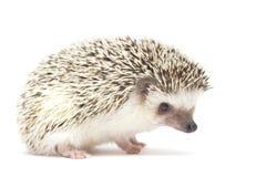 Hedgehog baby white background Stock Image