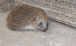 Hedgehog on a background of gray floor. Ing and gray sofa Royalty Free Stock Images