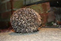A Hedgehog Ball Stock Image
