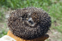 Hedgehog ball Stock Image