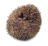 Hedgehog balled up Royalty Free Stock Image