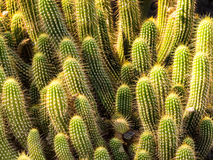 Hedgehog barrel cacti in a bunch Stock Photo