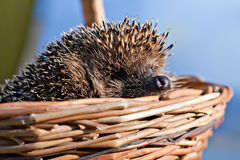 Hedgehog in basket Royalty Free Stock Image