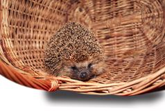 Hedgehog basket. Pretty spring pet Royalty Free Stock Images