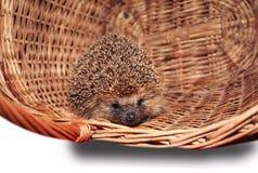 Hedgehog basket Royalty Free Stock Images