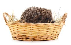 Hedgehog in a basket. Hedgehog in a basket on a white background Royalty Free Stock Images