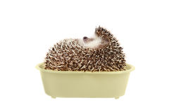 Hedgehog in bathtub. Royalty Free Stock Image