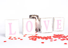 Hedgehog behind LOVE sign Royalty Free Stock Images