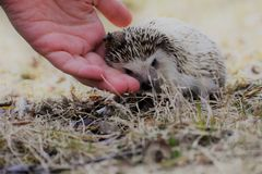 Hedgehog Being Cared For. A small brown hedgehog sitting in the grass looking cute in autumn while being comforted by a hand Royalty Free Stock Photo