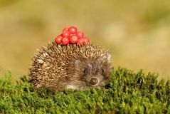 Hedgehog with berries Stock Image