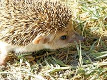 Hedgehog with big ears Stock Photo