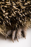 Hedgehog body Royalty Free Stock Photo