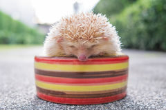 Hedgehog in a bowl Royalty Free Stock Photo