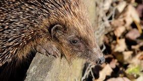 Hedgehog in bright sun in urban house garden.
