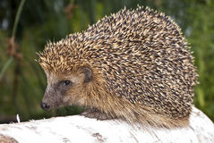 Hedgehog brown. Hedgehog on a walk in the woods Royalty Free Stock Photography