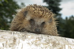 Hedgehog brown. Hedgehog wandering in the forest Stock Photography
