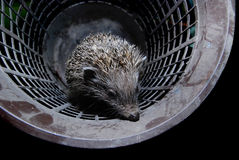 Hedgehog in bucket. Close-up to hedgehog in the bucket Royalty Free Stock Photo