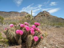 Hedgehog cactus Stock Photography