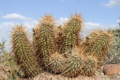 USA, Arizona: Hedgehog Cactus Stock Image