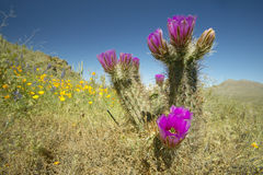 Hedgehog Cactus Royalty Free Stock Photography