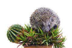 Hedgehog on the cactus and aloe Stock Photography