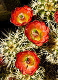 Hedgehog Cactus In Bloom Royalty Free Stock Images