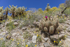 Hedgehog Cactus blooming in Anza-Borrego Desert State Park, Cali Stock Photo