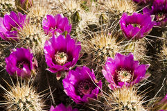 Hedgehog Cactus Blossoms Royalty Free Stock Image