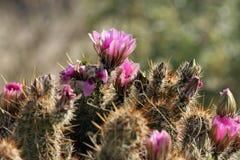 Hedgehog Cactus, Echinocereus engelmannii Stock Images