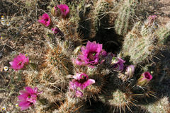 Hedgehog Cactus, Echinocereus engelmannii Stock Photos