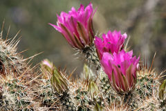 Hedgehog Cactus, Echinocereus engelmannii Royalty Free Stock Photos