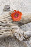 Hedgehog cactus flower on gnarled wood and stone travertine Stock Photo
