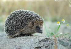 Hedgehog and camomile stock photography