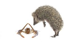 Hedgehog and a cancer Stock Image