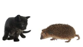 Hedgehog and cat Stock Photography