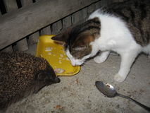 Hedgehog and cat Royalty Free Stock Images
