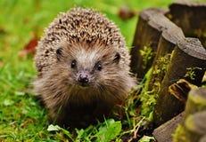 Hedgehog Child, Young Hedgehog Stock Photo