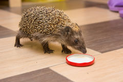 Hedgehog climbed into house and found a cap with milk Royalty Free Stock Image