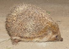 Hedgehog close to the side of the night flash of the paws runs nose eyes ears spines o. F needles Stock Photo
