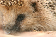 Hedgehog close up Stock Image