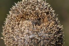Hedgehog 3 Stock Images