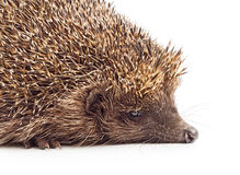 Hedgehog close-up Royalty Free Stock Images