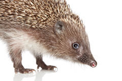 Hedgehog. Close-up portrait Royalty Free Stock Images