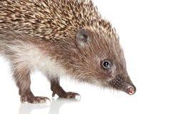 Hedgehog. Close-up portrait Royalty Free Stock Images