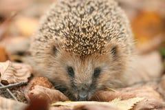 Hedgehog close-up portrait Stock Photography