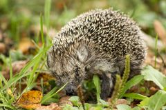 Hedgehog royalty free stock images
